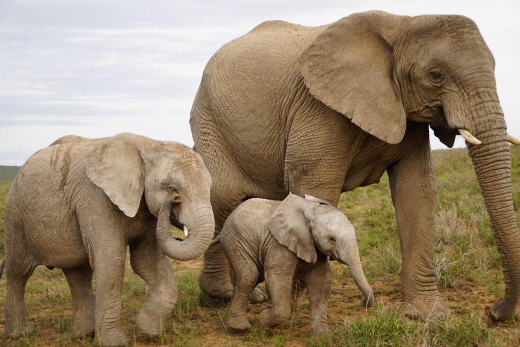Elefantes lindos e livres na África do Sul !