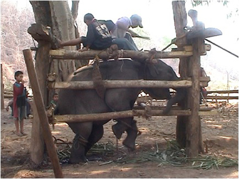 Prática cruel com elefantinhos!